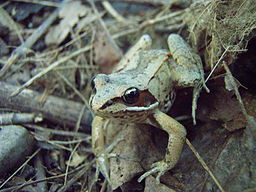 Arctic wood frog